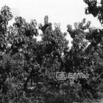 Şeftali Bahçesi, 1983