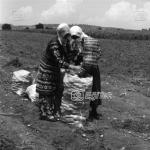 Patates Tarlaları, 1983