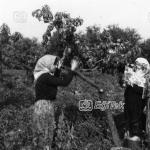 Şeftali Toplayanlar 1983