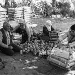 Şeftalilerin Sandıklanması 1983
