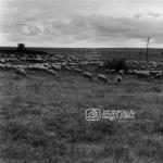 Karacabey Harasında Koyunlar 1983